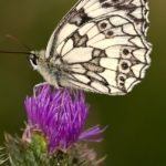 checkered-butterfly-580011_640